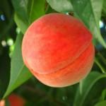 犬が桃を食べても大丈夫?量はどれくらいならいいの?